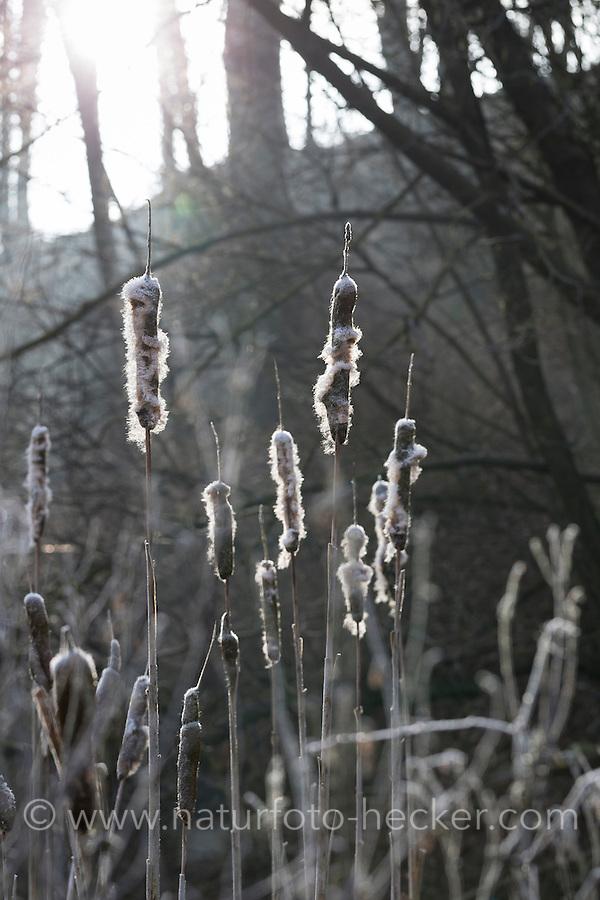 Breitblättriger Rohrkolben, aussamender Fruchtkolben, Typha latifolia, Bulrush, Cat Tail, Massette à feuilles larges