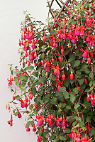 New Chelsea Plant: Fuchsia 'Pink Fizz' developed by Thompson & Morgan wizard plant breeder Charles Valin