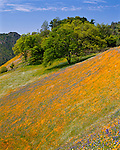 Sierra National Forest, CA<br /> A hillside of flowering California poppies and lupine blooming on a hillside with oak trees on the Moss Creek Trail near El Portal