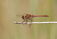 362740009 a wild male saffron-winged meadowhawk sympetrum costiferum perch on a desert plant near de chambeau ponds mono county california united states