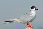 Forster's Tern Perched, Extreme Close Portrait, Bolsa Chica Wildlife Refuge, Southern California
