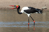 The saddle-billed stork is one of southern Africa's tallest and most spectacular birds.  This one was catching frogs.