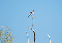 Loggerhead shrike, Lanius ludovicianus, perched in a tamarisk or saltcedar, Tamarix sp, in Death Valley National Park, California