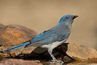 551130020 a wild  mexican jay alphelocoma wollweberi perches on a rock in madera canyon green valley arizona united states
