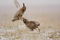 Adult male Greater Prairie-Chickens (Tympanachus cupido) fighting on a snow covered. Ft. Pierre National Grassland, South Dakota. April.