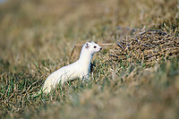 Ermine or Stoat or Short-tailed Weasel (Mustela erminea) in its winter coat