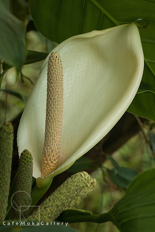 Trinidad Flora,unknown vine in forest - looks like a white anthurium