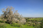 Israel, Shephelah, Almond tree in Maresha forest