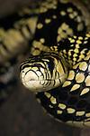 Tiger Ratsnake, Tigra cazadora, Spilotes pullatus, Central and northern South America