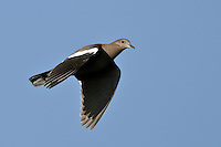White-winged Dove in Flight