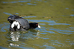 """American Coot (Fulica americana) adult performing """"Paired Display"""", in which it raises its white under-tail covert feathers during aggressive interaction, Orange County, California, USA"""