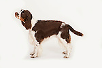 English Springer Spaniel Dog, Standing, Studio, White Background