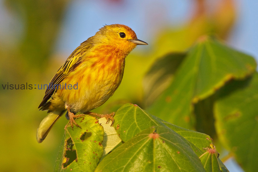 Mangrove or Yellow Warbler (Dendroica petechia) perched on a branch near the coast of Ecuador.