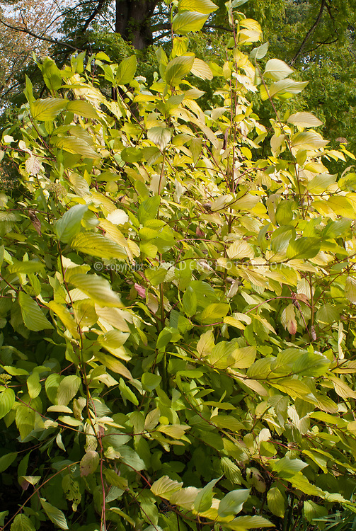 Cornus sericea subsp. occidentalis 'Sunshine'