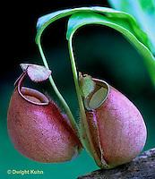 CA16-030b  Pitcher Plant - Borneo - Nepenthes bicalcarata