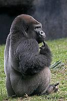 0210-08zz  Western Lowland Gorilla, Gorilla gorilla gorilla © David Kuhn/Dwight Kuhn Photography