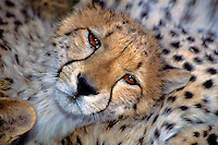 Cheetah.Acinonyx jubatus..Ralph Arwood.Inside-Out Photography, Inc..PO Box 7578.Naples, FL 34101.941-649-4209.RalphArwood@earthlink.net