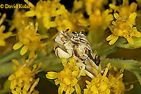 0904-06tt  Ambush bug - Phymata spp. Virginia - © David Kuhn/Dwight Kuhn Photography