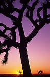 Sunset with silhouetted Joshua tree Rainbow Basin Barstow California USA