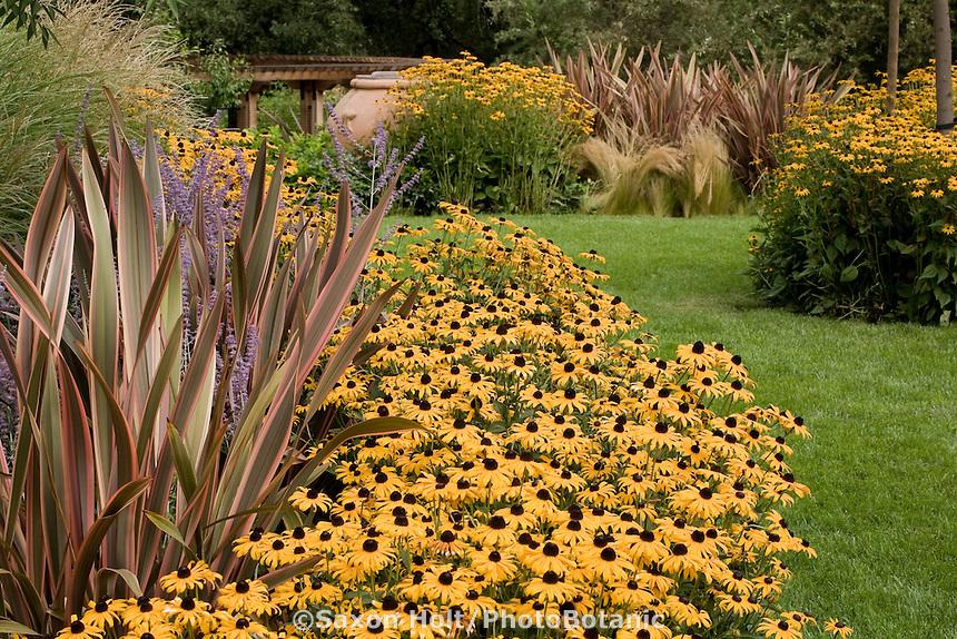 Rudbeckia hirta Black-eye Susan yellow flower perennial edging garden border with Phormium 'Sundowner' by lawn pathway