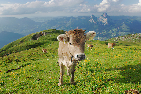 Cows on the Alps, Schwyz, Switzerland
