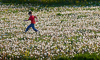 Young boy runs through a field of dandelions gone to seed.  Photo Copyright Gary Gardiner. Not be used without written permission detailing exact usage.
