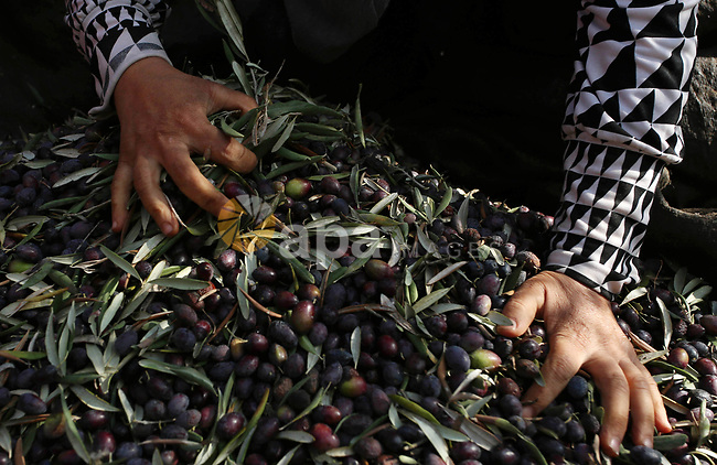 A Palestinian woman picks up olives at a farm during a harvest season, near the Israeli settlement of Ariel in the occupied West Bank city of Salfit, after Israeli authorities allowed Palestinian farmers to harvest olives just for several days limited, on October 10, 2018. Photo by Shadi Jarar'ah
