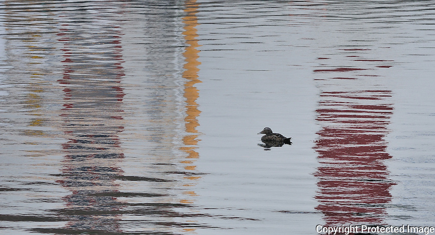 A duck swimming in reflections