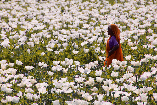 [Image: Woman-working-in-a-poppy-field-Rajasthan-India.jpg]