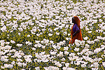 A woman tends a field of white poppies.