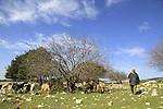 Israel, Upper Galilee, Druze shepherd and his herd at Hurvat Zeved on Mount Meron