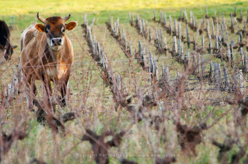 Vineyard with cows, cattle, bulls near Lentheric. Faugeres, below Ch des Estanilles. Languedoc. Vines trained in Gobelet pruning. France. Europe.
