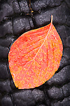 A red dogwood leaf on a charred log, Yosemite National Park, Calif.