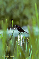 BL02-003z  Red-winged Black Bird - on cattail - Agelaius phoeniceus
