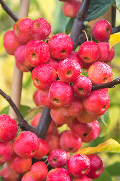 Red crab apple (Malus × robusta 'Red Sentinel'), late October.