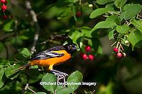 01611-08801 Baltimore Oriole (Icterus galbula) male in Serviceberry Bush (Amelanchier canadensis) Marion Co., IL