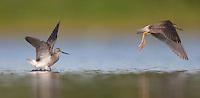 Lesser Yellowlegs (Tringa flavipes) pair take off into flight, East Pond, Jamaica Bay Wildlife Refuge