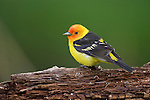 Portrait of a male Western Tanager perched on a log in Wyoming.