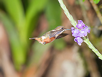 Female purple-throated woodstar, Calliphlox mitchellii. <br /> Tandayapa Valley, Ecuador
