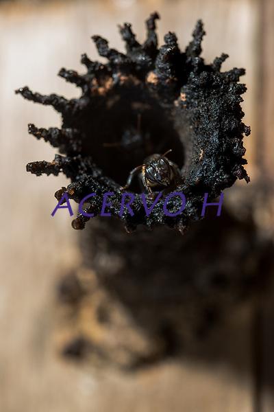 Uru&ccedil;u &eacute; uma palavra que vem do tupi &ldquo;eiru su&rdquo;, que nessa l&iacute;ngua ind&iacute;gena significa &ldquo;abelha grande&rdquo;. Essa nomenclatura est&aacute; relacionada com diversas abelhas do mesmo g&ecirc;nero, encontradas n&atilde;o s&oacute; no Nordeste, mas tamb&eacute;m na regi&atilde;o Norte. No Brasil, existe a Uru&ccedil;u amarela (Melipona rufiventris), bem como a Uru&ccedil;u Verdadeira ou Uru&ccedil;u do Nordeste (Melipona scutellaris). <br /> <br /> A tend&ecirc;ncia, por&eacute;m, &eacute; a de reservar o termo &ldquo;Uru&ccedil;u&rdquo; para destacar o seu tamanho avantajado (semelhante &agrave; Apis), pela produ&ccedil;&atilde;o de mel expressiva entre os melipon&iacute;deos e pela facilidade do manejo, pois s&atilde;o abelhas mansas.<br /> <br /> Estudos j&aacute; realizados mostraram o relacionamento da Uru&ccedil;u com a mata &uacute;mida, que apresenta as condi&ccedil;&otilde;es ideais para as abelhas constru&iacute;rem seus ninhos, al&eacute;m de encontrarem, em &aacute;rvores de grande porte, esp&eacute;cies com floradas muito abundantes, que s&atilde;o seus principais recursos alimentares, bem como locais de morada e reprodu&ccedil;&atilde;o.<br /> <br /> A Uru&ccedil;u (Melipona scutellaris) possui uma prefer&ecirc;ncia floral mais seletiva do que as abelhas africanizadas, raz&atilde;o porque se encontram em vias de extin&ccedil;&atilde;o.<br /> <br /> Ocorr&ecirc;ncia<br /> <br /> A abelha Uru&ccedil;u &eacute; uma abelha sem ferr&atilde;o, nativa do Brasil, encontrada na zona da mata do litoral baiano e nordestino. Esta esp&eacute;cie prefere habitar locais &uacute;midos, nidificando em &aacute;rvores de grande porte.<br /> <br /> Foto