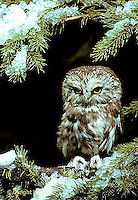OW02-035b  Saw-whet owl - sitting on branch - Aegolius acadicus