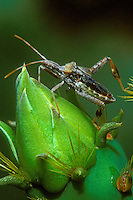 360070001 a wild leaffooted bug napnia ssp perches on an opuntia flower pod in the rio grande valley of south texas