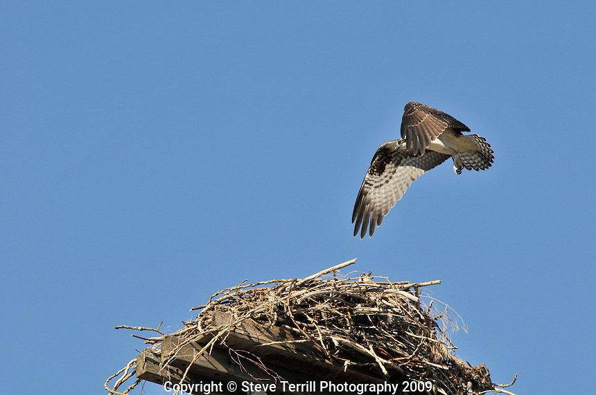 Osprey landing on nest along Columbia River Oregon