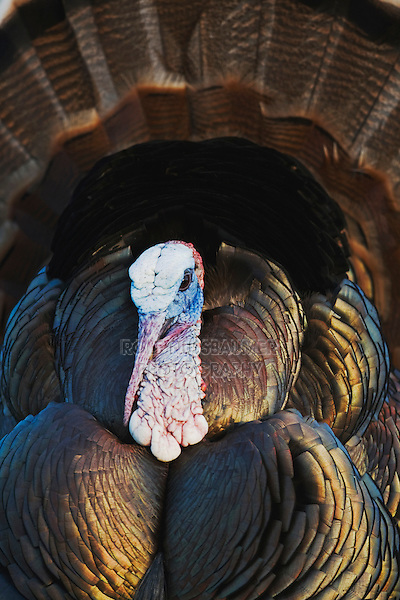 Wild Turkey (Meleagris gallopavo), male, displaying, Sinton, Corpus Christi, Coastal Bend, Texas, USA
