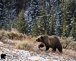 Grizzly bear on ridge. Bridger-Teton National Forest, Wyoming.