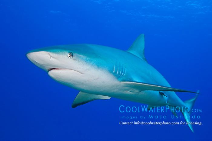 Caribbean Reef Shark, Carcharhinus perezi, West End, Grand Bahama, Atlantic Ocean.