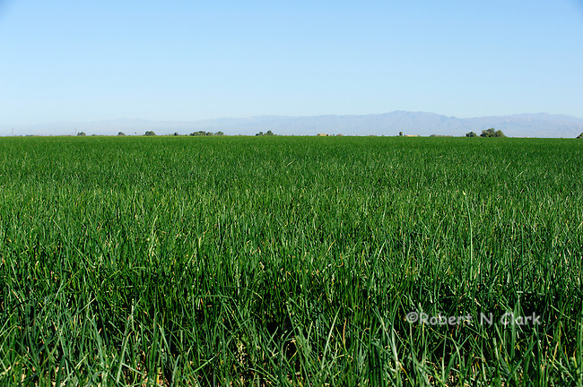 Onion field in the Imperial Valley of California