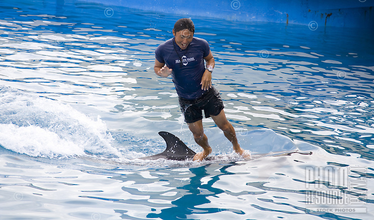 Local Asian dolphin trainer riding the back of a dolphin at Hawaii Sea Life Park on the east side of Oahu