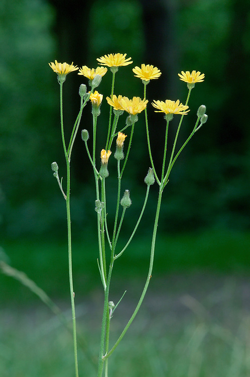 SMOOTH HAWK'S-BEARD Crepis capillaris (Asteraceae) Height to 80cm. Hairless and branched annual or biennial of dry, grassy places. FLOWERS in heads, 15-25mm across, with yellow florets and 2 rows of bracts, the outer ones spreading; heads in branched clusters (Jun-Oct). FRUITS have a pappus of unbranched hairs. LEAVES are pinnate, upper ones with clasping arrow-shaped bases. STATUS-Common.