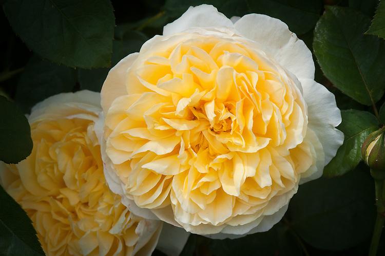 Rosa Charlotte ('Auspoly'), late June. A soft yellow English Musk Hybrid shrub rose. From David Austin, 1993.